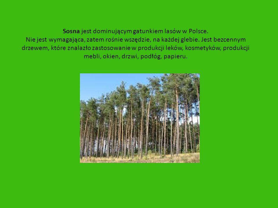 Sosna jest dominującym gatunkiem lasów w Polsce.