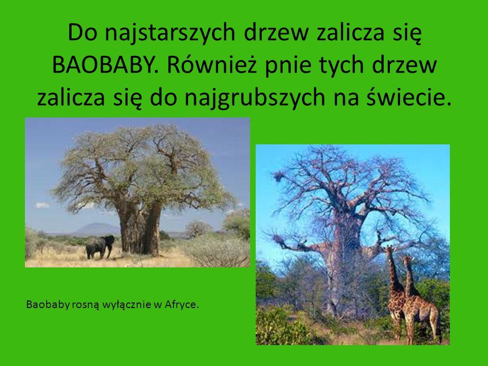 Do najstarszych drzew zalicza się BAOBABY