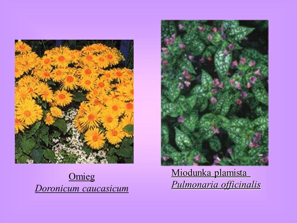 Miodunka plamista Pulmonaria officinalis Omieg Doronicum caucasicum