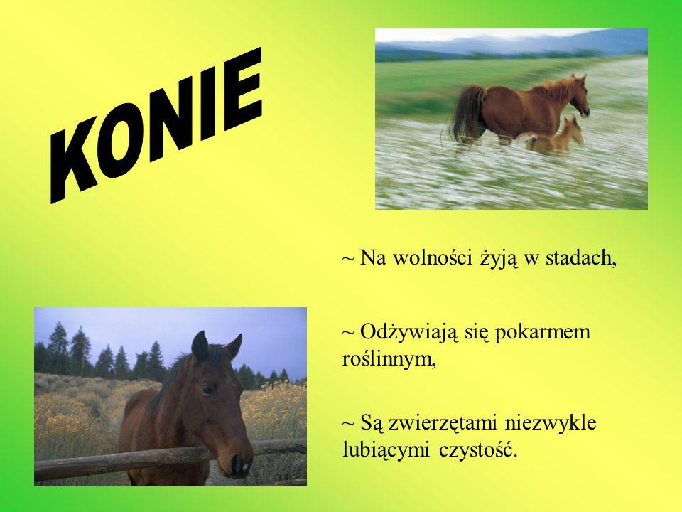 KONIE ~ Na wolności żyją w stadach,