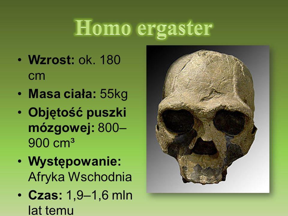 Homo ergaster Wzrost: ok. 180 cm Masa ciała: 55kg