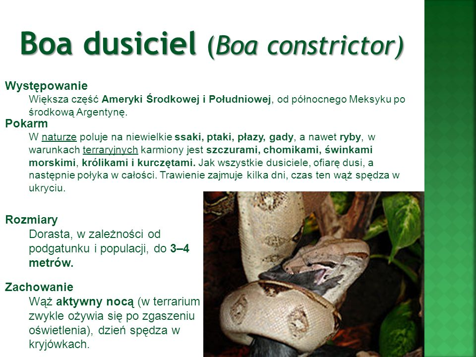 Boa dusiciel (Boa constrictor)