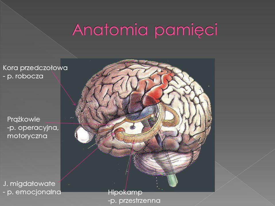 Anatomia pamięci Kora przedczołowa - p. robocza Prążkowie