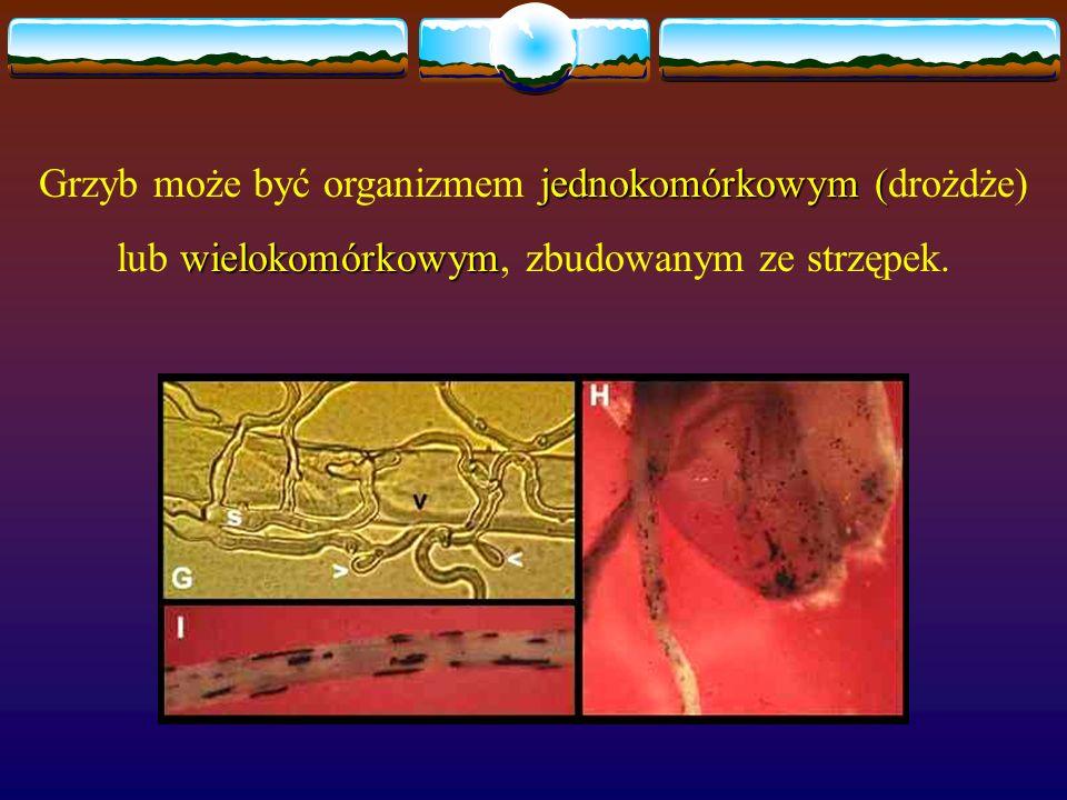 Grzyb może być organizmem jednokomórkowym (drożdże)