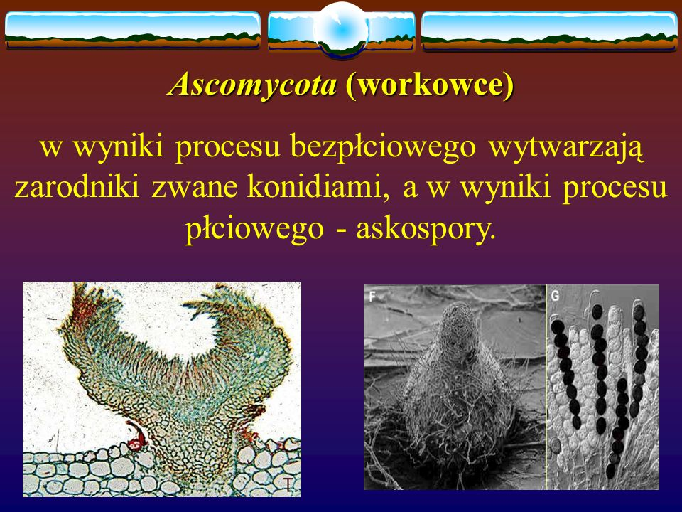 Ascomycota (workowce)
