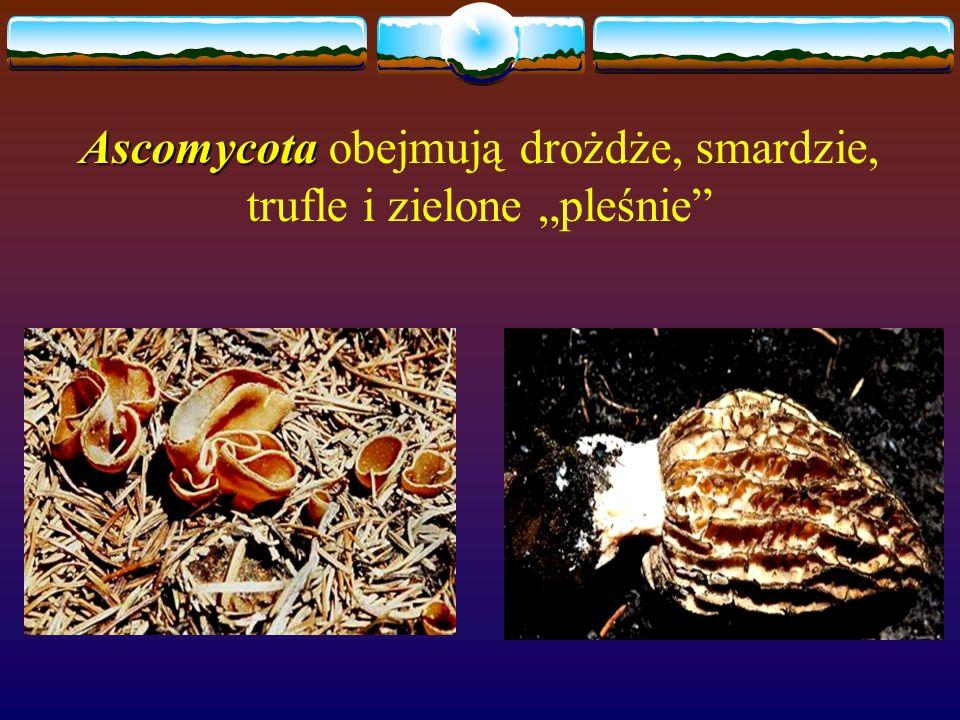 """Ascomycota obejmują drożdże, smardzie, trufle i zielone """"pleśnie"""