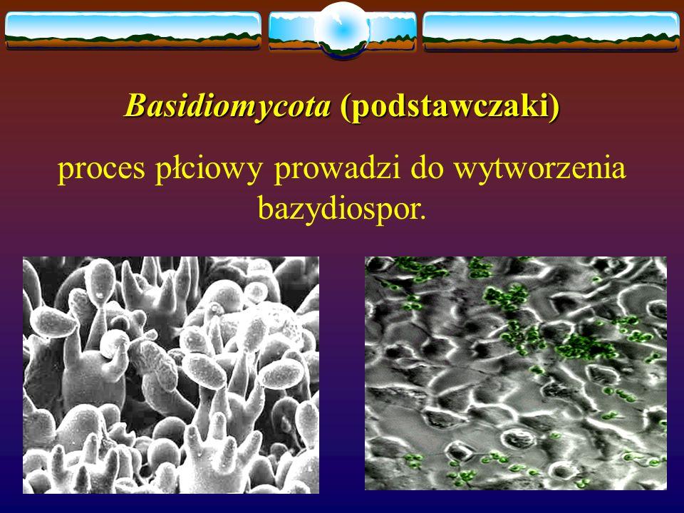 Basidiomycota (podstawczaki)