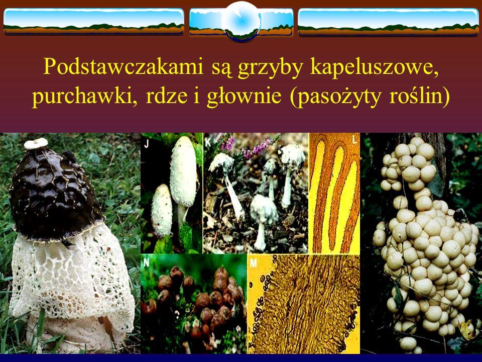 Podstawczakami są grzyby kapeluszowe, purchawki, rdze i głownie (pasożyty roślin)
