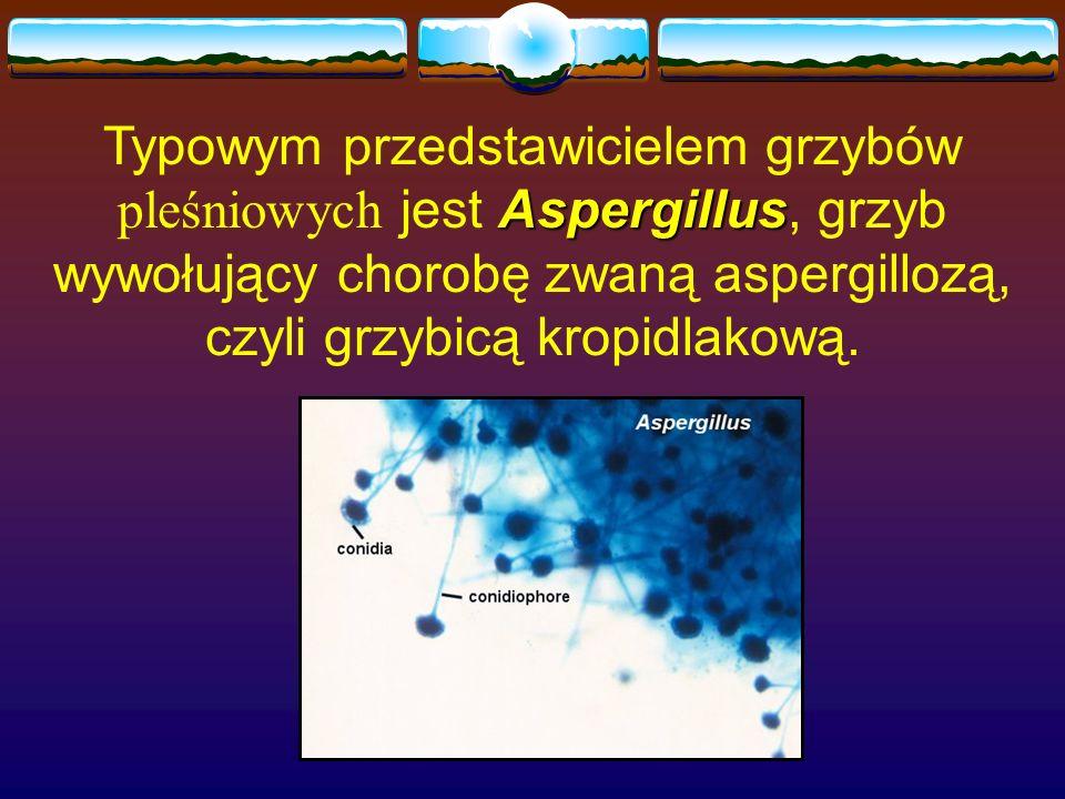 Typowym przedstawicielem grzybów pleśniowych jest Aspergillus, grzyb wywołujący chorobę zwaną aspergillozą, czyli grzybicą kropidlakową.