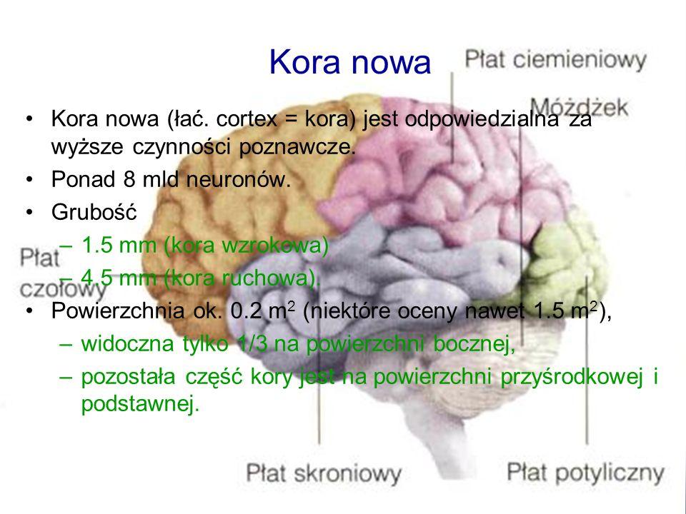Kora nowa Kora nowa (łać. cortex = kora) jest odpowiedzialna za wyższe czynności poznawcze. Ponad 8 mld neuronów.