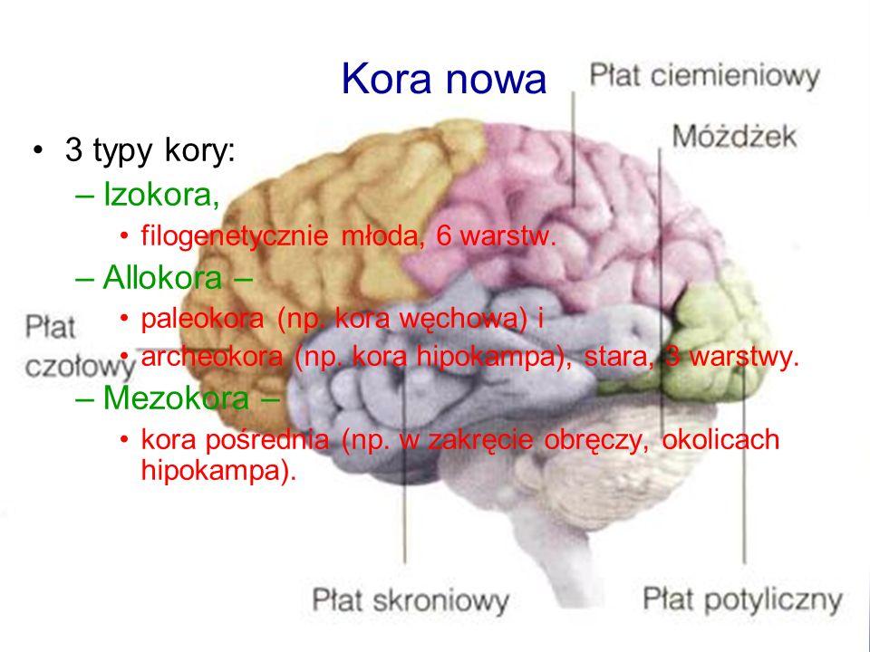 Kora nowa 3 typy kory: Izokora, Allokora – Mezokora –