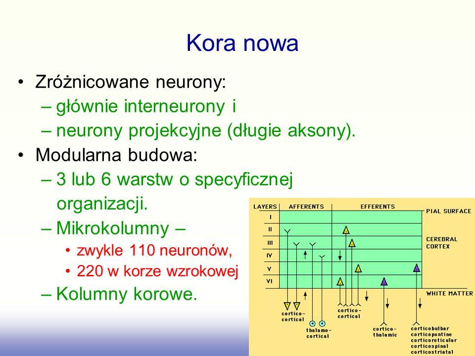Kora nowa Zróżnicowane neurony: głównie interneurony i