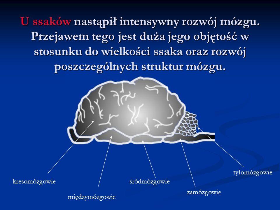 U ssaków nastąpił intensywny rozwój mózgu