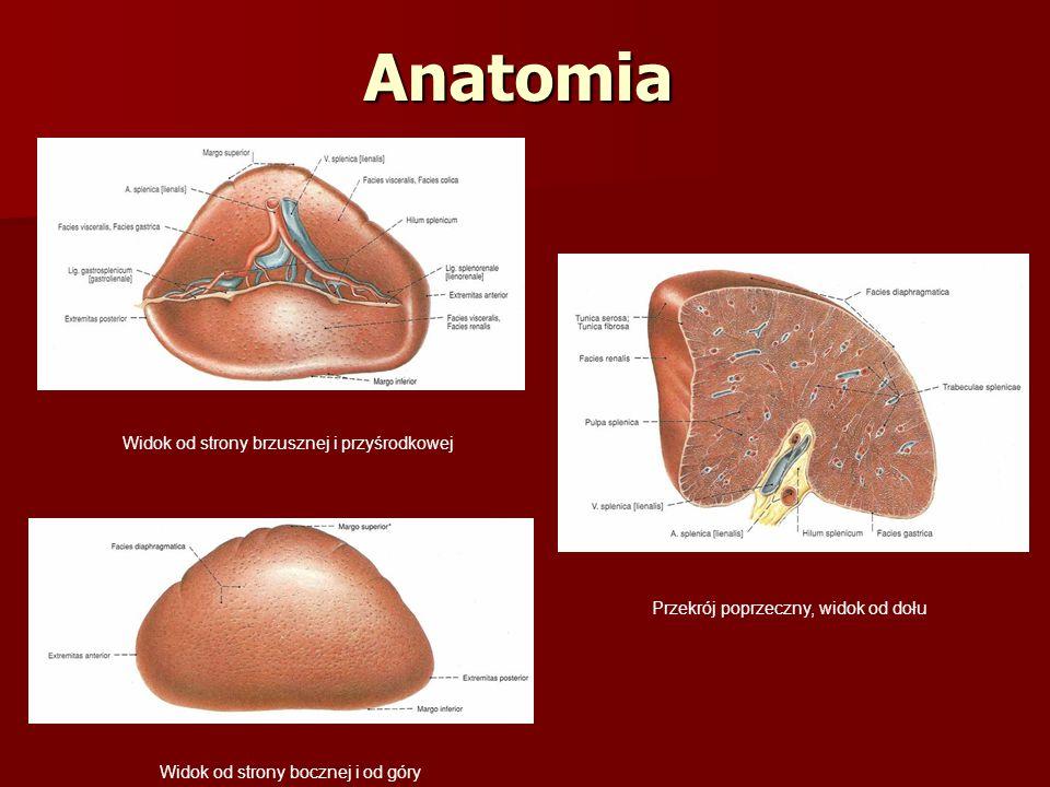 Anatomia Widok od strony brzusznej i przyśrodkowej