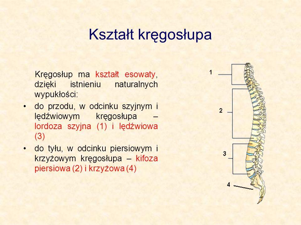 Kształt kręgosłupa Kręgosłup ma kształt esowaty, dzięki istnieniu naturalnych wypukłości: