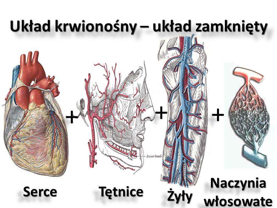 Układ krwionośny – układ zamknięty