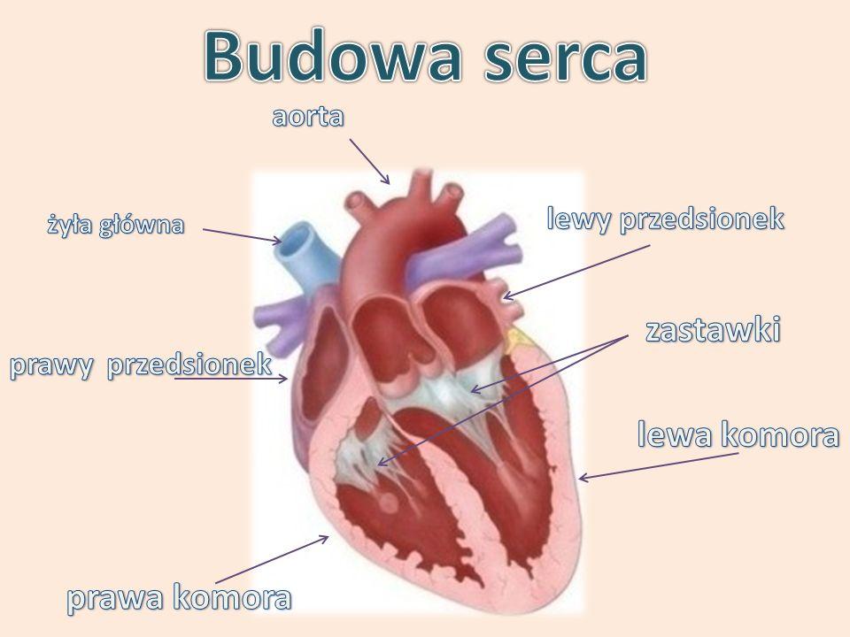 Budowa serca zastawki lewa komora prawa komora aorta lewy przedsionek