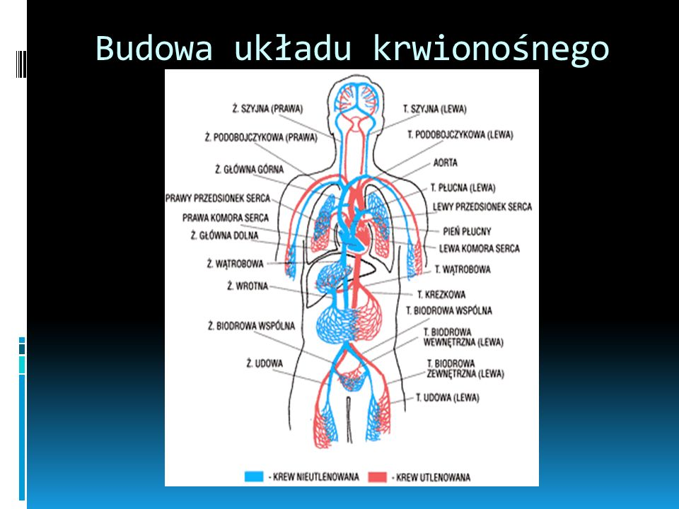 Budowa układu krwionośnego
