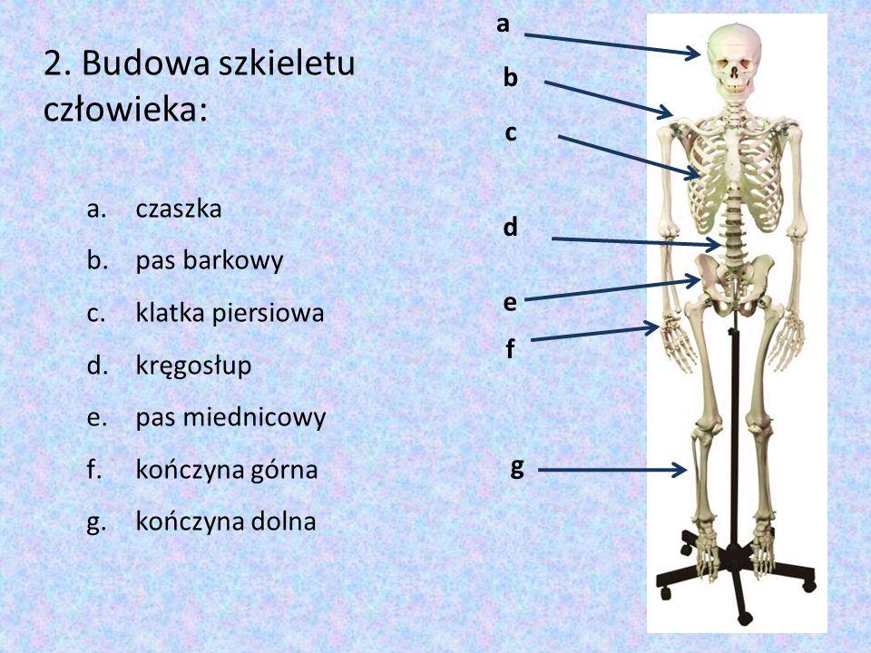 2. Budowa szkieletu człowieka: