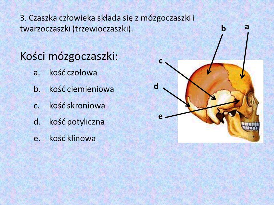 3. Czaszka człowieka składa się z mózgoczaszki i twarzoczaszki (trzewioczaszki).