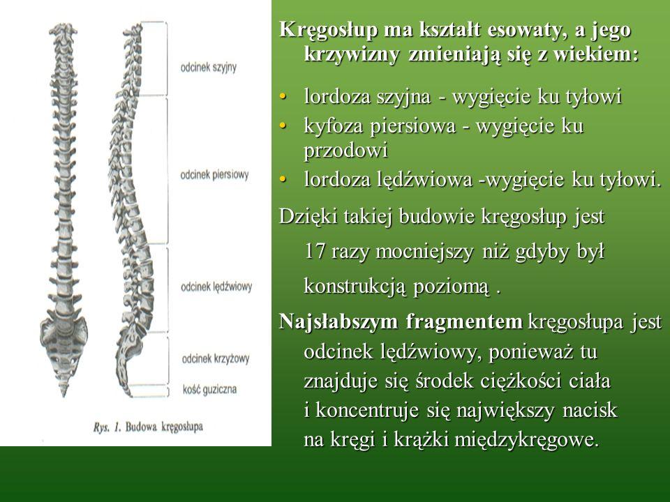 Kręgosłup ma kształt esowaty, a jego krzywizny zmieniają się z wiekiem: