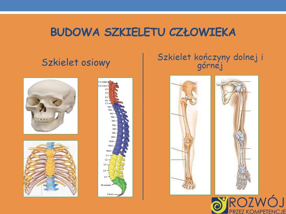 Budowa szkieletu człowieka