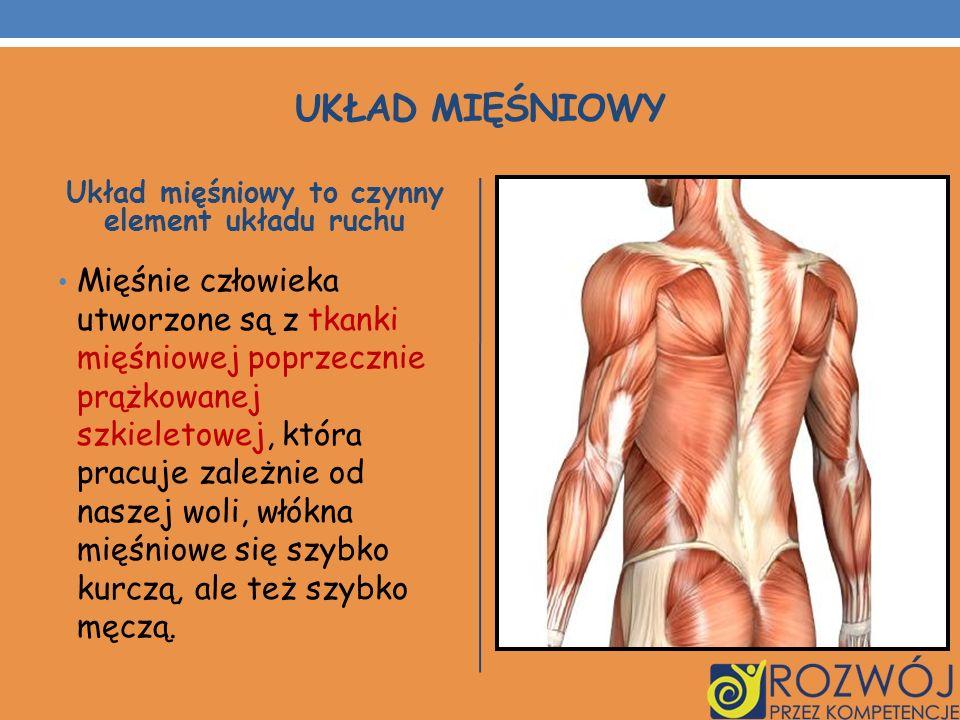 Układ mięśniowy to czynny element układu ruchu