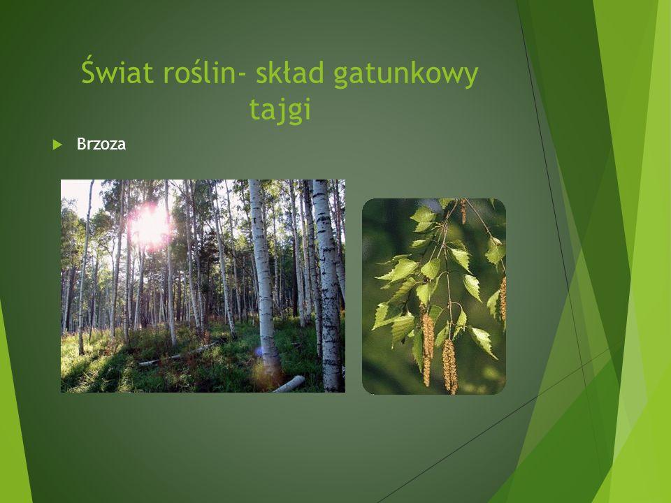 Świat roślin- skład gatunkowy tajgi
