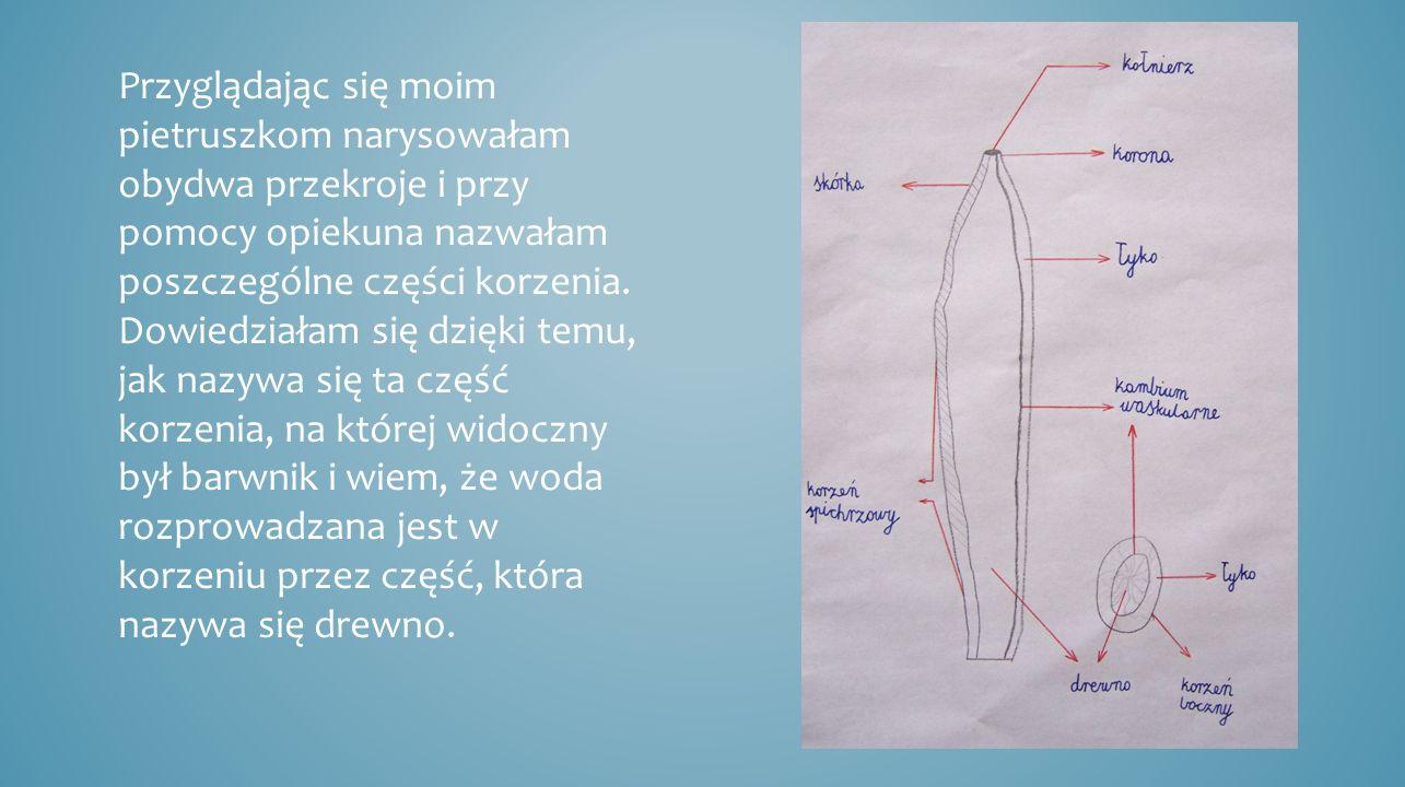 Przyglądając się moim pietruszkom narysowałam obydwa przekroje i przy pomocy opiekuna nazwałam poszczególne części korzenia.