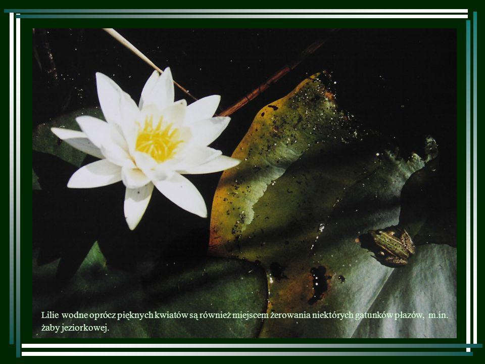 Lilie wodne oprócz pięknych kwiatów są również miejscem żerowania niektórych gatunków płazów, m.in.
