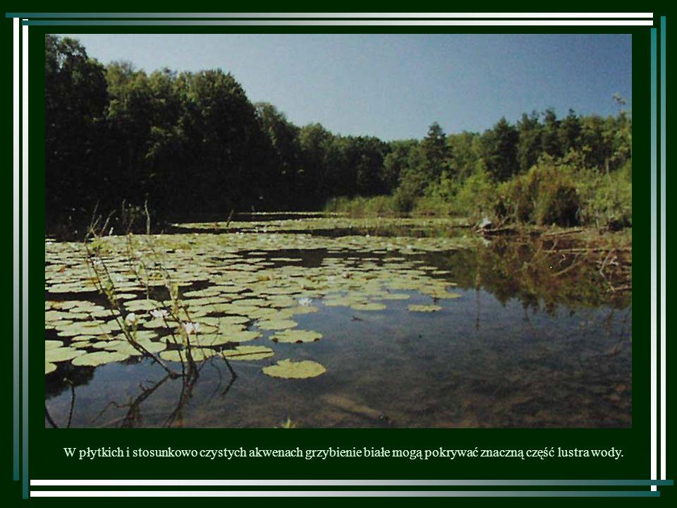 W płytkich i stosunkowo czystych akwenach grzybienie białe mogą pokrywać znaczną część lustra wody.