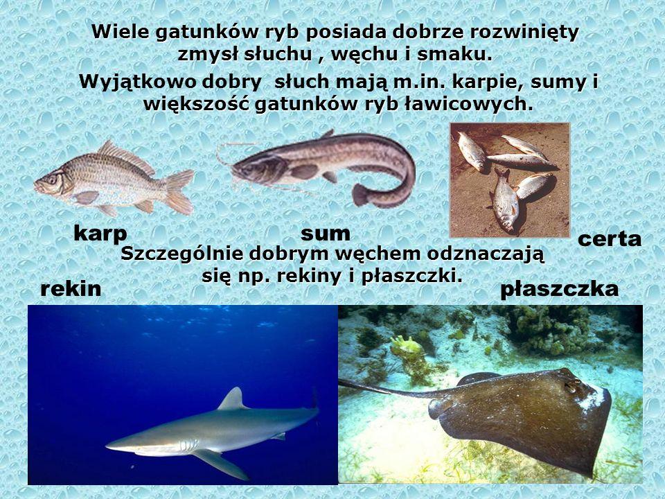 Szczególnie dobrym węchem odznaczają się np. rekiny i płaszczki.