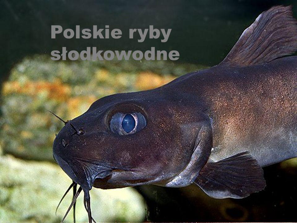 Polskie ryby słodkowodne