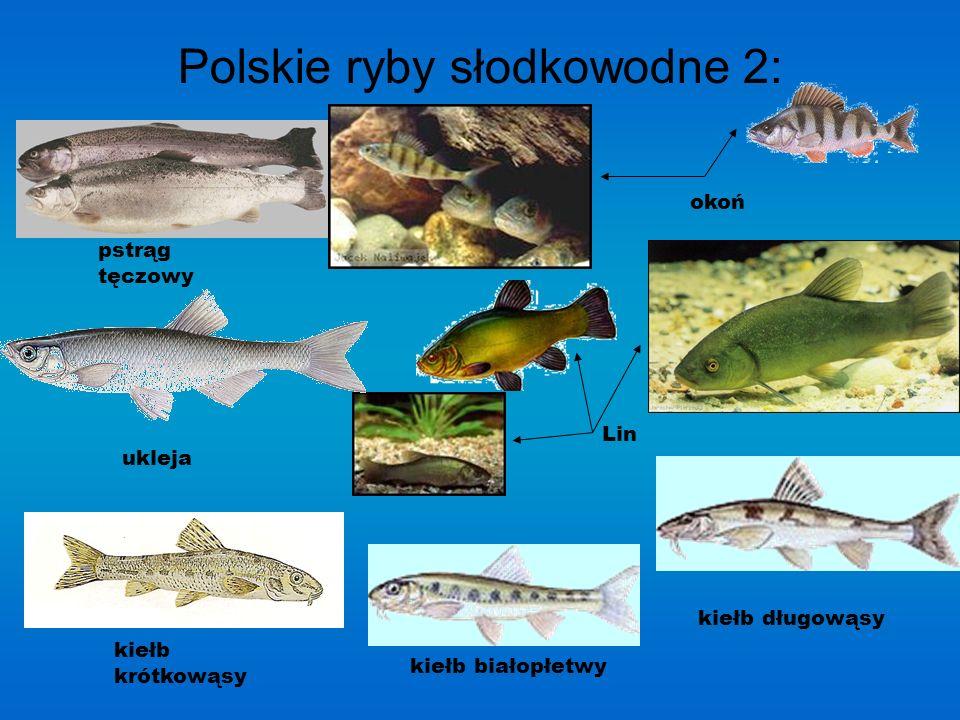 Polskie ryby słodkowodne 2: