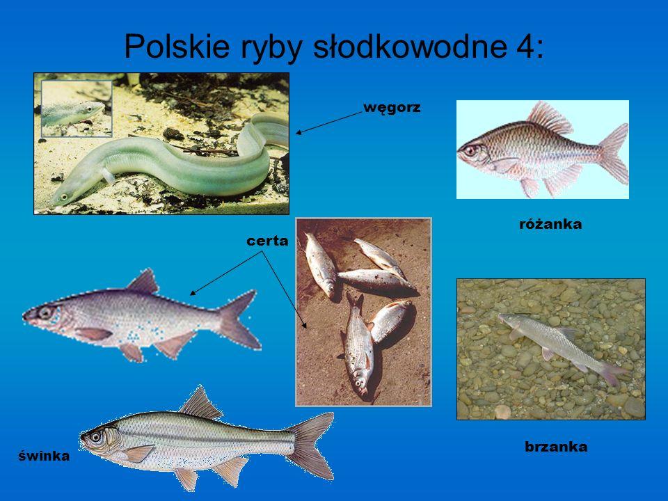 Polskie ryby słodkowodne 4: