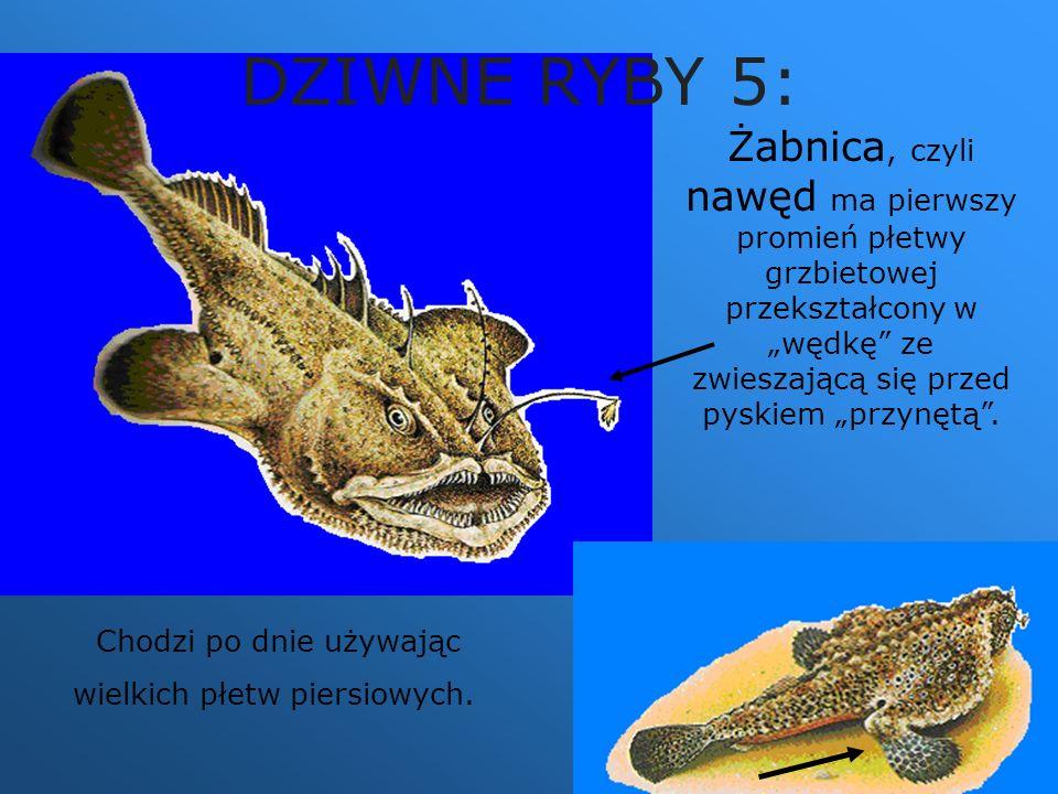 """DZIWNE RYBY 5: Żabnica, czyli nawęd ma pierwszy promień płetwy grzbietowej przekształcony w """"wędkę ze zwieszającą się przed pyskiem """"przynętą ."""