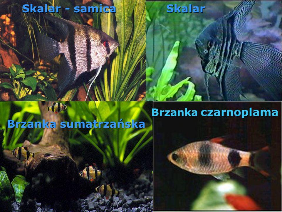Skalar - samica Skalar Brzanka sumatrzańska