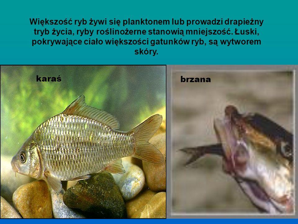 Większość ryb żywi się planktonem lub prowadzi drapieżny tryb życia, ryby roślinożerne stanowią mniejszość. Łuski, pokrywające ciało większości gatunków ryb, są wytworem skóry.