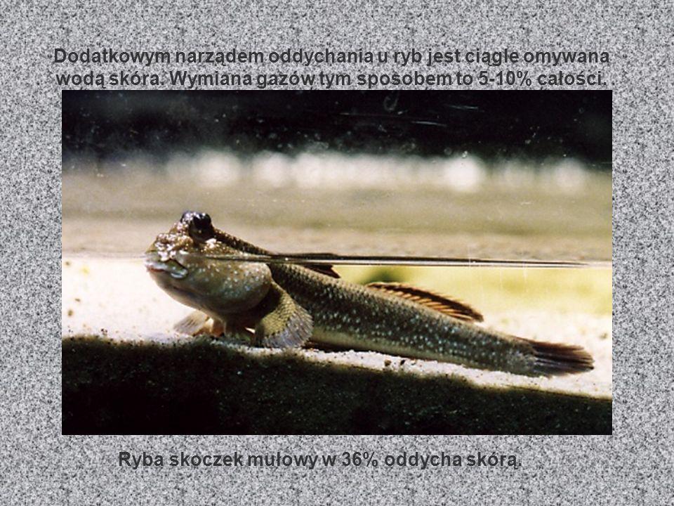 Ryba skoczek mułowy w 36% oddycha skórą.