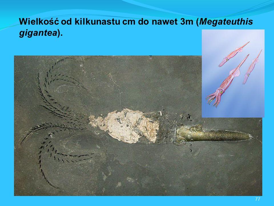 Wielkość od kilkunastu cm do nawet 3m (Megateuthis gigantea).