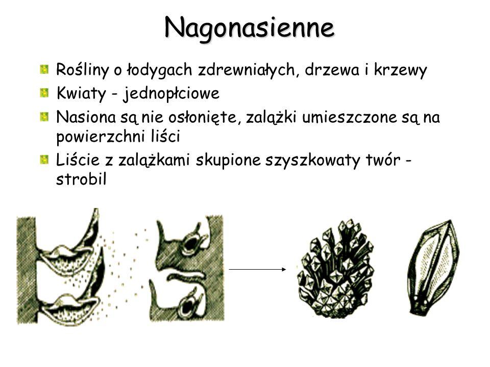Nagonasienne Rośliny o łodygach zdrewniałych, drzewa i krzewy