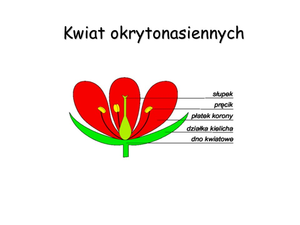 Kwiat okrytonasiennych