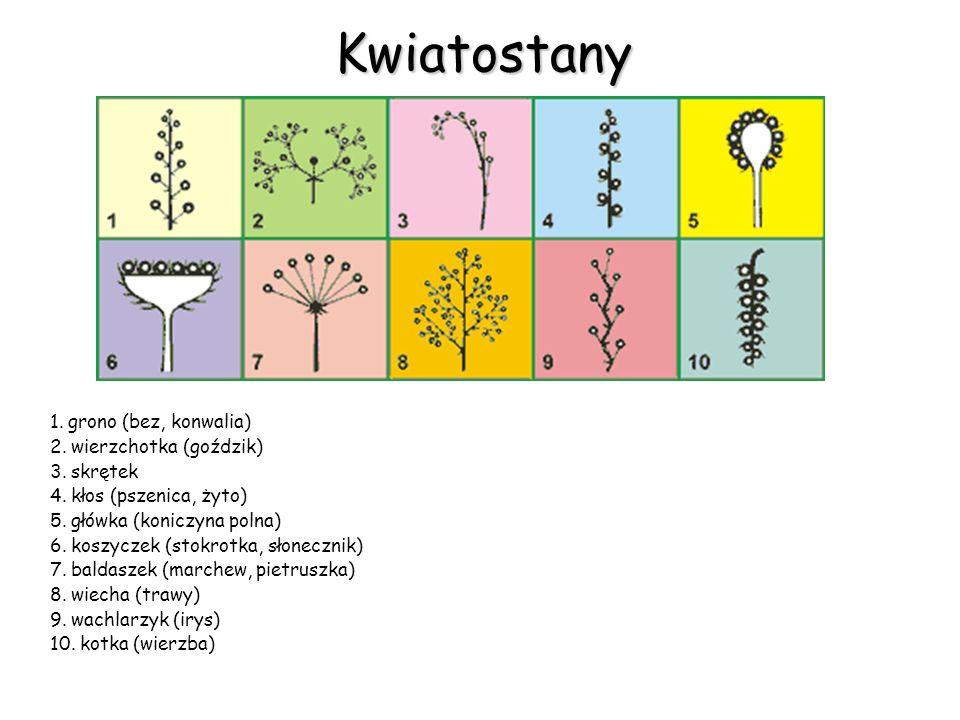Kwiatostany 1. grono (bez, konwalia) 2. wierzchotka (goździk)