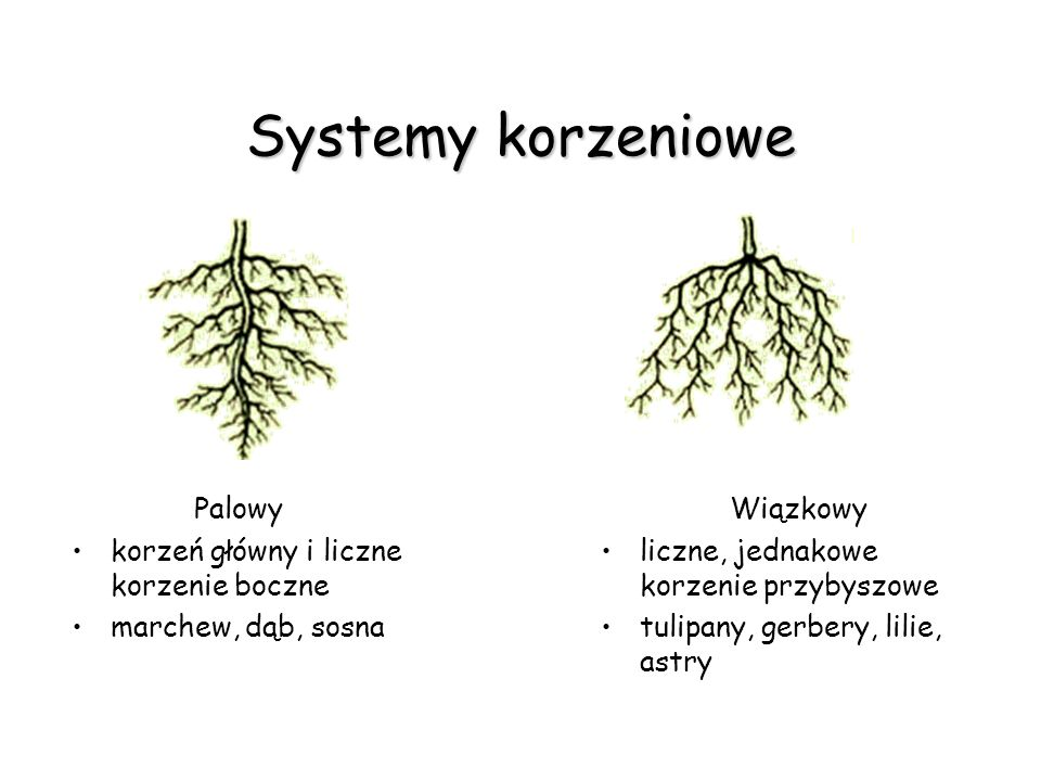 Systemy korzeniowe Palowy korzeń główny i liczne korzenie boczne