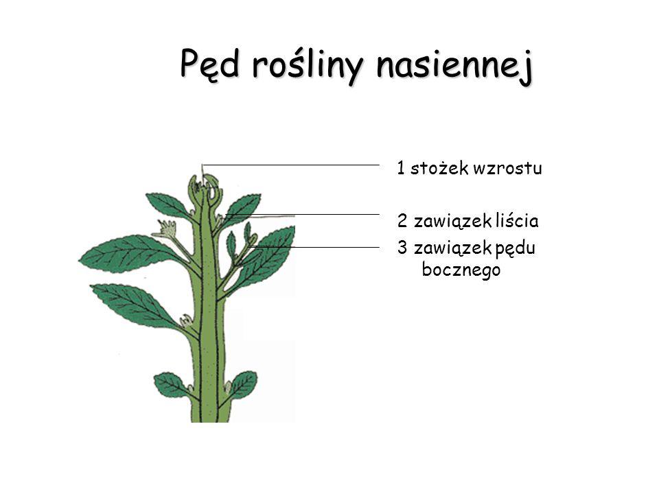 Pęd rośliny nasiennej 1 stożek wzrostu 2 zawiązek liścia