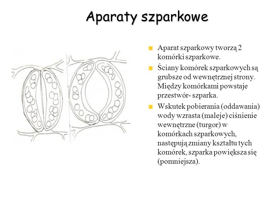Aparaty szparkowe Aparat szparkowy tworzą 2 komórki szparkowe.