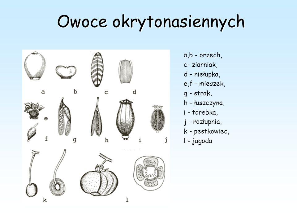 Owoce okrytonasiennych