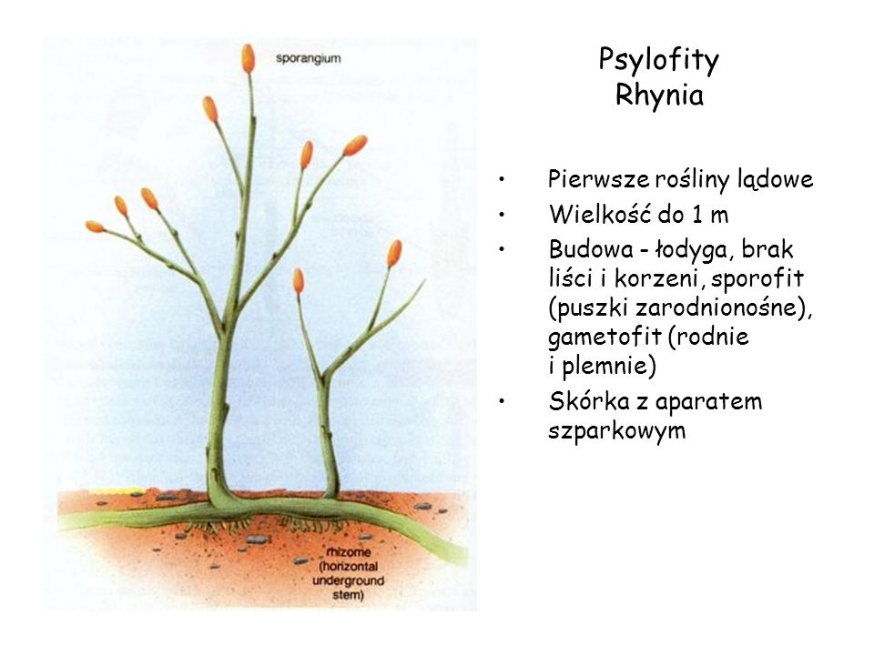 Psylofity Rhynia Pierwsze rośliny lądowe Wielkość do 1 m