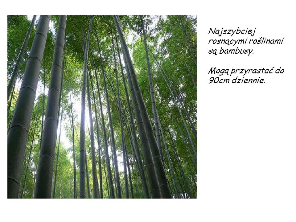 Najszybciej rosnącymi roślinami są bambusy. Mogą przyrastać do 90cm dziennie.
