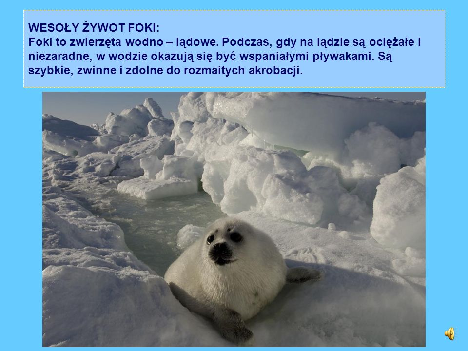 WESOŁY ŻYWOT FOKI: Foki to zwierzęta wodno – lądowe